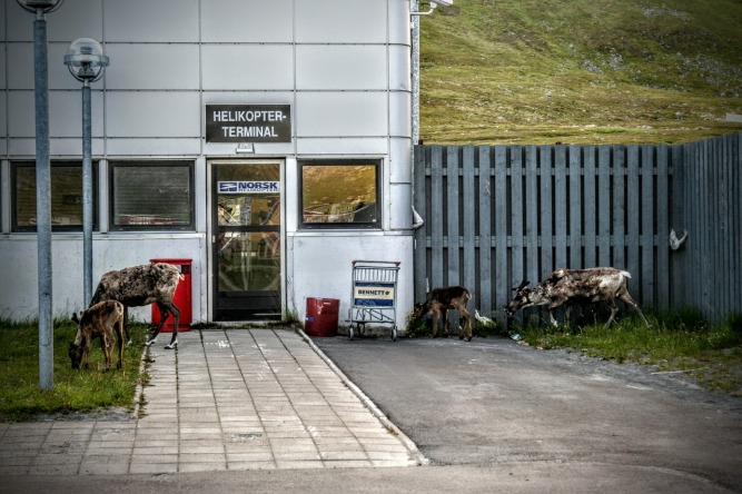 There is compition for space and pasture resources. Here reindeer graze at a helicopter terminal in northern Norway (Photo: Vera Hausner).