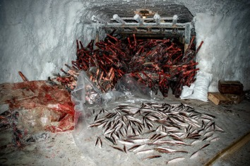 A permafrost freezer in Arctic Russia used to store caribou meet and fish before distributing them on the market (Photo: Dorothee Ehrich).