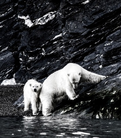Polar bears are often seen as prestine animals and a symbol of climate change that needs to be protected. Photo: Pierre Blevin