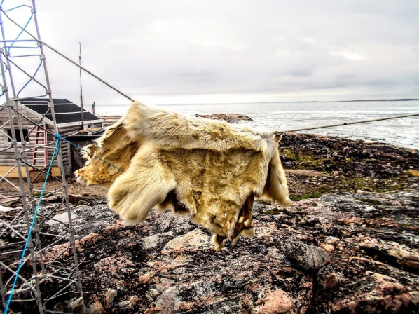 Polar bear hide near Chesterfield Inlet, Nunavut. Photo: Niels Lokken