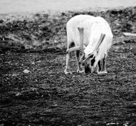Reindeer graizing the tundra (Photo: Ann E. Lennert).